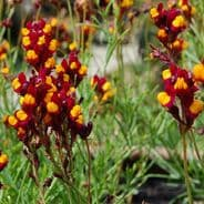 Linaria reticulata Spanish Dancer - appx 8000 seeds