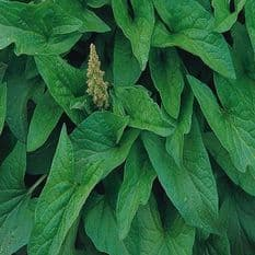 Lincolnshire Spinach - Good King Henry - 500 seeds