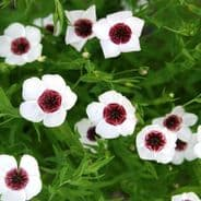 Linum grandiflorum Bright Eyes Appx 600 seeds