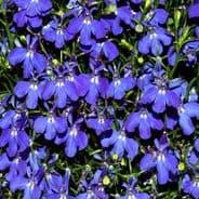 Lobelia Cascade Blue Appx 6,000 seeds