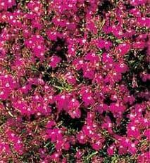 Lobelia Cascade Red Appx 6,000 seeds