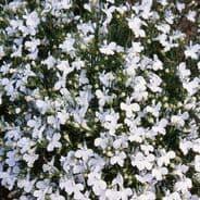 Lobelia Cascade White Appx 6,000 seeds