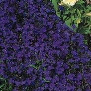 Lobelia Crystal Palace Appx 5000 seeds - Annual