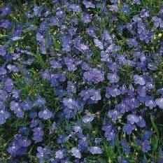 Lobelia erinus compacta Cambridge Blue 1500 seeds - 5000 seeds
