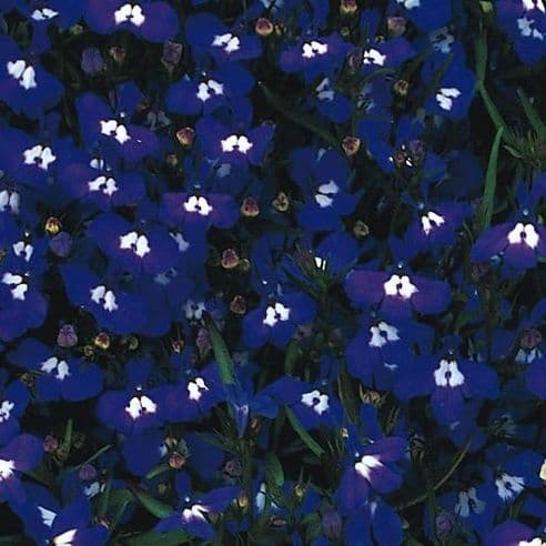 Lobelia Mrs Clibran Appx 6000 seeds