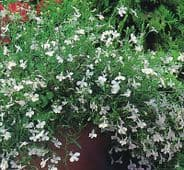 Lobelia Palace White - Appx 2000 seeds