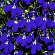 Lobelia Riviera Blue Eyes - Appx 3000 seeds