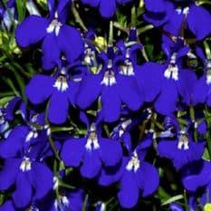 Lobelia Riviera Blue Eyes - Appx 3000 seeds