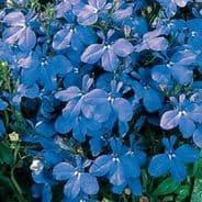 Lobelia Riviera Blue Sky - 50 multi seeded pellets