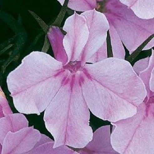 Lobelia Riviera Lilac - Appx 3000 seeds