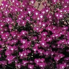 Lobelia Riviera Rose Appx 3000 seeds