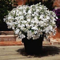 Lobelia Riviera White - Appx 3000 seeds