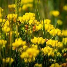Lotus corniculatus - Birdsfoot Trefoil - 1,200 seeds