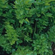 LOVAGE - Levisticum officinalis 100 seeds