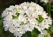 Lychnis Chalcedonica Alba - Approx 200 seeds