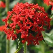 Lychnis chalcedonica Scarlet - Maltese cross - 10 Grams - Bulk Discounts available