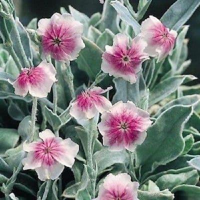 Lychnis coronaria Oculata 40 seeds