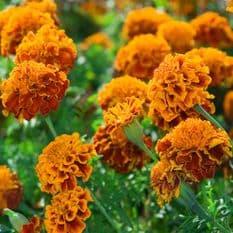 Marigold Brocade Mix -  French type