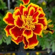 Marigold Durango 'Bee'  French type 50 de-tailed seeds