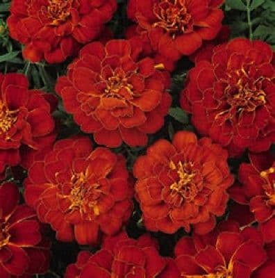 Marigold Durango Red -  French type 50 de-tailed seeds