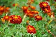 Marigold Harmony Boy - French type  Appx 50 seeds