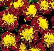 Marigold Hero Spry - French type  Appx 50 seeds