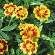 Marigold Legion of Honour - 10 grams - Bulk Discounts available