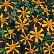 Marigold Mr Majestic - French type  Appx 50 seeds