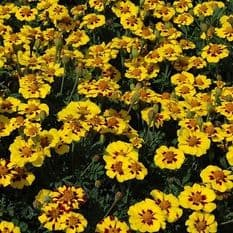 Marigold Naughty Marietta - French type - Appx 100 seeds
