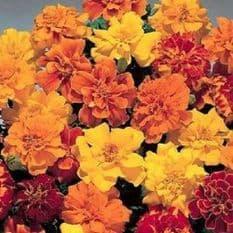 Marigold Safari Mix French type 70 de-tailed seeds