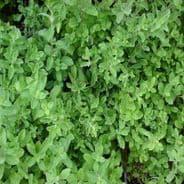 Marjoram Sweet - Appx 4000 seeds