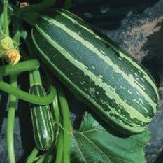 Marrow F1 Bush Baby - 10 seeds - Vegetable