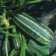 Marrow F1 Bush Baby Seeds