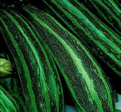 Marrow Long Green Bush 4 - 10 seeds
