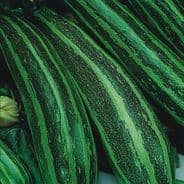 Marrow Long green Bush 4 - 25 grams - Bulk Discounts Available