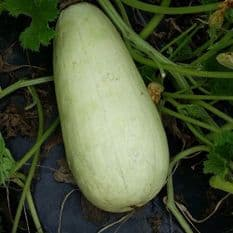 Marrow Long White Bush 2 - 15 seeds