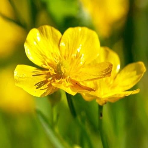 Meadow Buttercup - Ranunculus acris - Appx 500 seeds