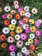 Mesembryanthemum Harlequin 2 grams