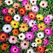 Mesembryanthemum Harlequin 500 / 1800  seeds