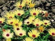 Mesembryanthemum Lemon Shimmer - appx 500 seeds