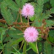 Mimosa Pudica 5 grams - Bulk Discounts available