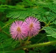 Mimosa Pudica - sensitive plant Appx 400 seeds