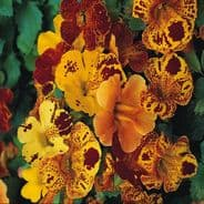 Mimulus Tigrinus mixed - Tiger Monkey flower - Approx 12,000 seeds