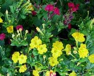 Mirabilis jalapa Tea time mix - 50 seeds