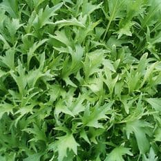 Mizuna Green - 500 seeds / 2000 seeds