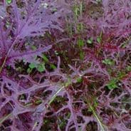 Mizuna Red - Appx 3000 seeds