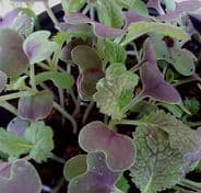 Mustard Red Giant appx 2,400 seeds