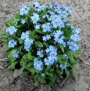 Myosotis Blue Ball - Forget me Not - 2000 seeds