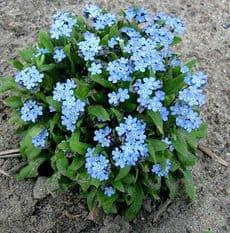 Myosotis Blue Ball - Forget me Not - 2000 seeds