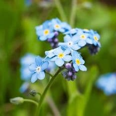 Myosotis - Field Forget me Not - 1500 seeds